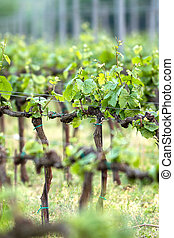 Beautiful rows of grapes in spring