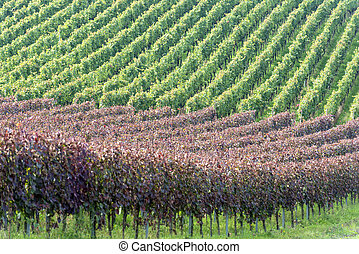 Beautiful rows of grapes in the vineyard