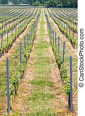 Beautiful rows of grapes