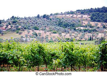 Beautiful rows of vineyar