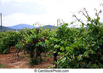 Beautiful rows of vineyard