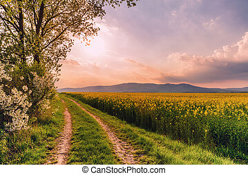 Beautiful rural road on a sunset with rapeseed field and blooming cherry trees.