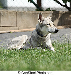Beautiful saarloos wolfhound