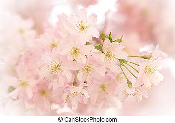 Beautiful sakura cherry tree blossoms in spring