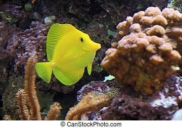Beautiful salt water tank - Beautiful yellow Tang in s clean...