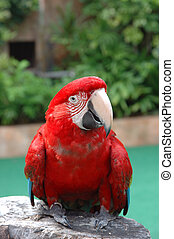 Beautiful scarlet macaw posing on perch