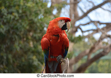 Beautiful Scarlet Macaw Sitting in a Tree Top