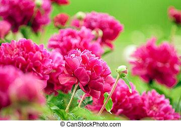 Beautiful scarlet peonies flowers, spring bloom