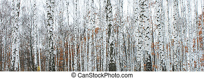 birch forest in october
