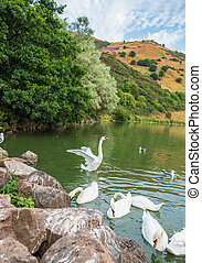 Swans at St Margaret?s Loch and ruins of St Anthony?s chapel in the background, Edinburgh, Scotland.