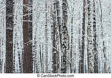 winter forest with bare trees with snow
