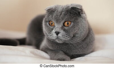 Beautiful Scottish Fold cat is lying on the couch at home