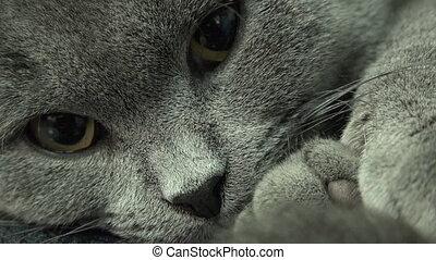 Beautiful Scottish Fold Grey Cat Closeup
