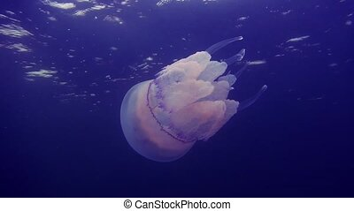 Beautiful sea jellyfish floating