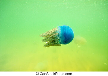 Beautiful sea jellyfish in the sea of Thailand (underwater view)