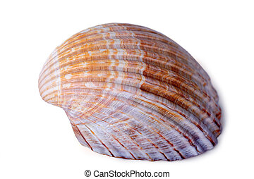 Beautiful sea shell isolated on a white background