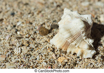 Beautiful sea shell on sand close up