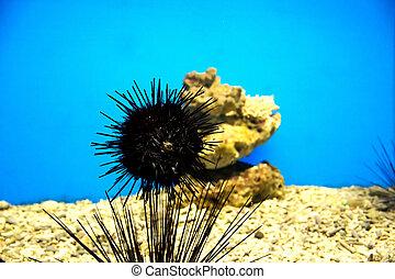 sea ??urchinsl in aquarium