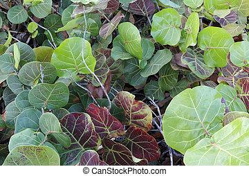 Beautiful Seagrape Leaves
