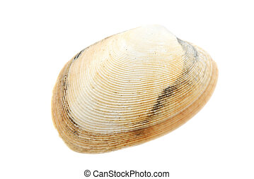 Beautiful seashell isolated on white background close-up