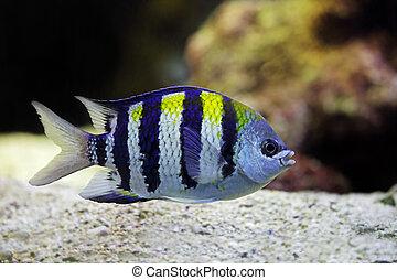 beautiful Sergeant Major fish
