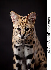 Beautiful serval, Leptailurus serval, on the black...