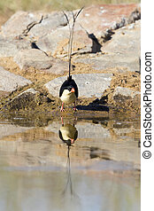 Beautiful Shaft-Tailed Whydah male drinks water from a waterhole in Kalahari desert