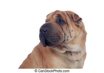 Beautiful Shar Pei Dog Breed isolated on a white background