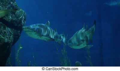 Beautiful sharks in an aquarium. Underwater Scene.