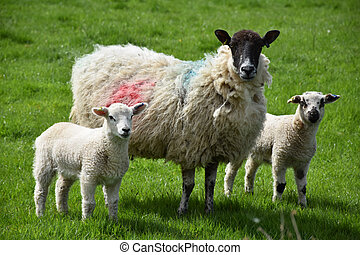 Adorable sheep family with two lambs in a field.