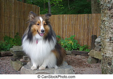 Beautiful Sheltie Sitting - Sheltie sitting on a stone bench...