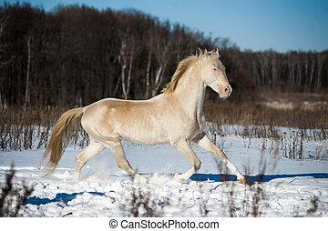 Beautiful shining perlino akhal-teke stallion in snow