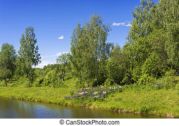 Beautiful shore of a small river with bright colors of lupine.