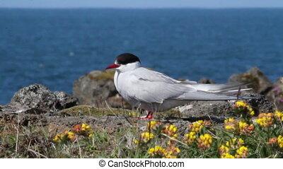 Arctic Tern  - Beautiful shot of Arctic Tern bird
