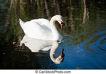 white swan looking at reflection in lake