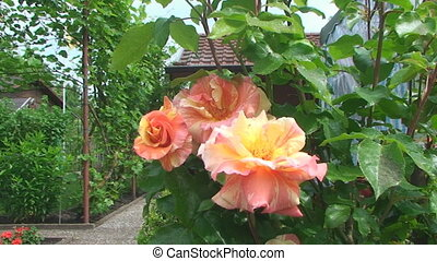 beautiful shrub roses rose on the background of country house