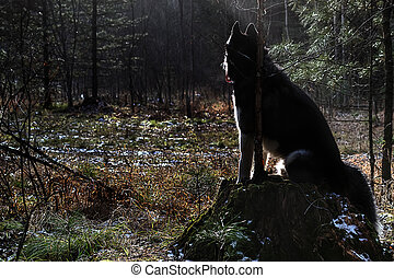 Beautiful siberian husky dog is