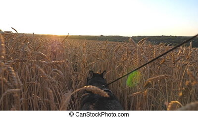 Beautiful siberian husky dog pulling the leash during...