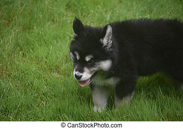 Beautiful siberian puppy playing in a field of grass