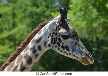 Beautiful Side Profile of a Giraffe