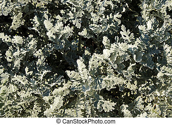 Jacobaea maritima or Silver Ragwort