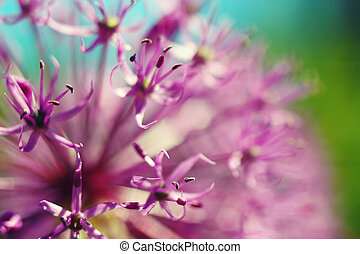 Beautiful simple spring blooming purple allium flower close ...