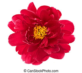 beautiful single flower head of red peony isolated on white background