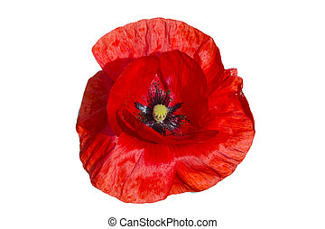 Red poppy isolated on white background - Beautiful single...