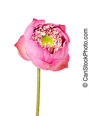 Beautiful Single lotus flower isolated on white.