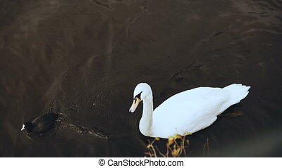 Beautiful single white swan near river embankment. 4K....