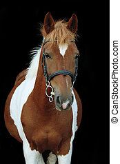 Beautiful skewbald welsh pony portrait on black background
