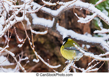 Beautiful small bird great tit or Parus major bird sitting on the snow covered tree branch in winter