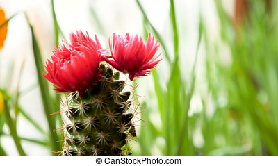 Close up of a white flower on a blooming cactus stock footage beautiful small cactus with a flower on top of it mightylinksfo Images