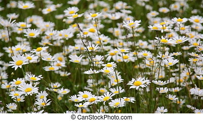 Beautiful small white daises found in the field waving to the breeze of the wind